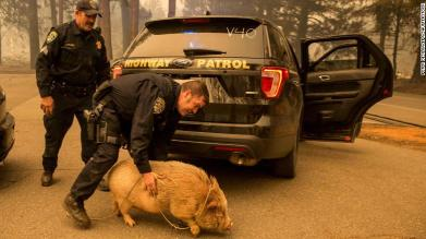 Cops attempted to rescue potbelly pig